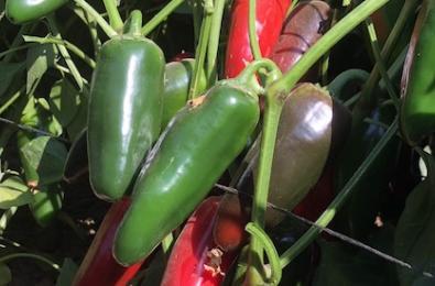 Hot pepper vilmorin
