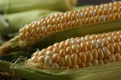 вильморин-кукуруза