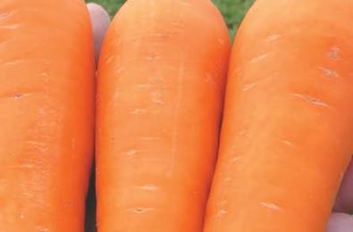 вильморин морковь