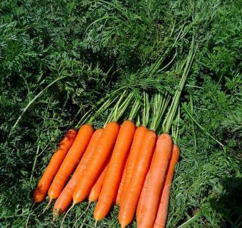 морковь вильморин