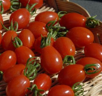 Aligote Tomato Vilmorin